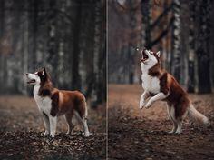Siberian Husky. By Ksenia Raykova.