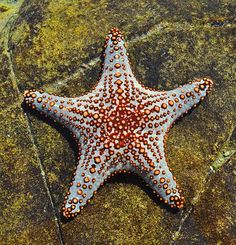 a starfish in shallow water http://what-do-animals-eat.com/starfish/