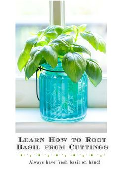 Learn this easy way to root basil from cuttings. It's a great way to stretch your budget and have a huge supply of fresh basil! #freshherbs #gardening #propegateplants Christmas Napkin Folding, Small Glass Containers, Cooking With Fresh Herbs, Edible Plants, Salad Dressing Recipes, Lean Body, Kitchen Gifts, Cuttings, Spring Recipes