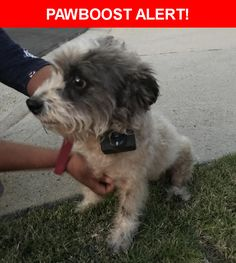 Is this your lost pet? Found in Los Angeles, CA 90043. Please spread the word so we can find the owner!  Small terrier mix white with grey and white head. Wearing a red collar with a perimeter/shock collar.  Near W 62nd St & S Verdun Ave