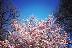 The cherry blossoms...when they were still in bloom in Prospect Park
