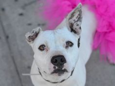 GONE 5-4-2015 --- SUPER URGENT WINTER – A1034122 FEMALE, WHITE, PIT BULL MIX, 8 yrs OWNER SUR – ONHOLDHERE, HOLD FOR OWNER DIED Reason OWNER DIED Intake condition UNSPECIFIE Intake Date 04/23/2015