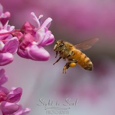 Flying Honey Bee Wall Art Print Nature Photography Fine Art Photo