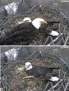 Decorah Bald Eagles Photo of the Day Dad brings Mom a fish to eat while she warms the egg. A second egg is expected any day now, possibly tonight. Eaglecam: http://www.ustream.tv/channel-popup/decorah-eagles