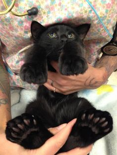 This beautiful kitty with giant toes and feet was taken in by Panda Paws Rescue. This is her being held by the veterinary staff, showing off her big feet and many toes.