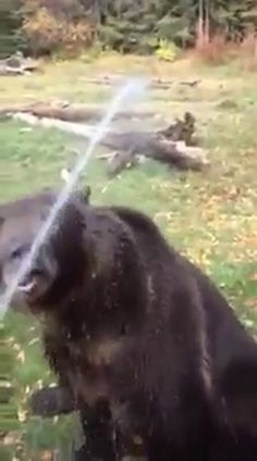 Bruno the bear never gets tired of taking a bath when his owner asks him to.