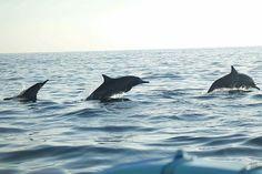 Dolphins, Bali, lovina beach