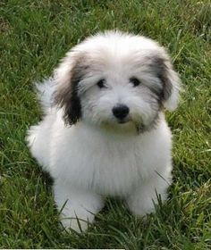 Coton de Tulear ... Have you heard of these majestic beauties? I'll gladly take a half dozen of them.