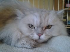 SPRING SPECIAL -- Puddin' Pie is an adoptable Persian Cat in Elmhurst, IL. Im Puddin Pie, and Im 7 years old. Im a pure-bred traditional Persian, and I have a beautiful Chinchilla coat. When I was res...