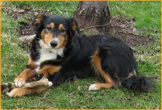 English Shepherd / Farm Collie Dog