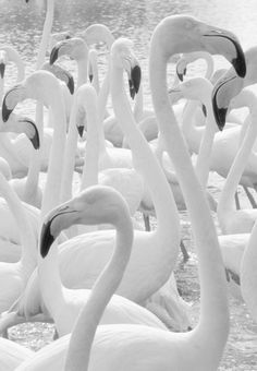 Flamingos. photographed in black and white