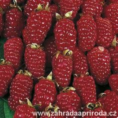 maliny Tayberry Buckingham Thornless Suttons, foto archiv Grape Nutrition, Blackberry Nutrition, Nutrition Chart, Nutrition Plans, Fruit Flowers, Fruit Trees, Nutritional Cleansing, Nutritional Yeast, Exotic Fruit