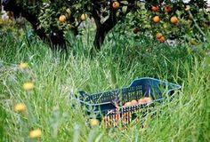 Comprar caja de 10 kg de naranjas ecológicas. La recolectamos los martes y te la envíamos a casa en 24 h conservando los aromas y sabores del campo. 18 €