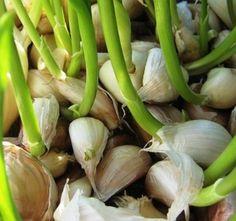a kertben is felhasználhatod a fokhagymát Growing Mint, Growing Herbs, How To Store Garlic, Garlic Seeds, Grow Garlic, Buy Seeds, Non Organic, Garlic Bulb, Herbs Indoors