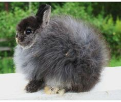 THAT is w fluffy bunny! Jersey Woolie Rabbit. SOOO CUTE! (black otter)
