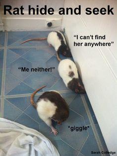 Rat hide and seek