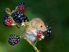 Harvest mouse on blackberries by Robert Bannister - Photo 27872531 / Hamsters, Rodents, Cute Creatures, Beautiful Creatures, Animals Beautiful, Nature Animals, Animals And Pets, Cute Baby Animals, Funny Animals