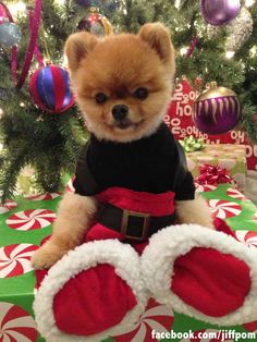 Also dressing like Santa. | 17 Ways Jiff The Pomeranian Celebrated The Holidays