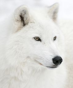 There isn't a species called the 'albino wolf' but there are wolves that are white. Timber/ Grey wolves can be an array of colors; grey, brown, black, and yes even white