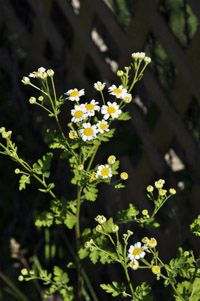 Feverfew is our Herb of the Month.