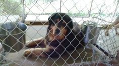 06/16/15-Henderson TX Animal Shelter June 5 · #1218 is actually 3 Burnese Mountain Dogs who's owner passed away and they need to find new homes. They are all very good natured, friendly and loving. 2 males, 1 female. This big boy is a darling. Please consider helping these precious souls. For more information please call the shelter at 903-657-7651. This page is maintained by a volunteer.