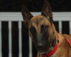 West Coast Belgian Malinois Rescue & Adoption Woof Project is a non-profit serving California, Washington, Oregon, Idaho, Nevada. Adopt a Belgian Malinois Belgian Malinois, Brooklyn, Adoption, Female, Friends, Dogs, Animals, Foster Care Adoption, Amigos