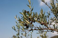 Our Koroneiki variety, Olive Tree with some unharvested fruits.
