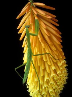 Praying Mantis on Red Hot Poker Plant  The green mantis against the lovely yellow/orange plant is so beautiful!