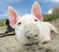 Bully rooting in the sand, looks like a little piggy