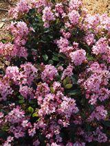 Raphiolepis indica 'Springtime'