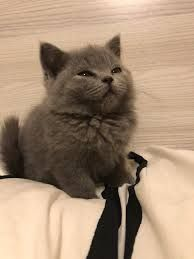 Image Result For Long Hair Russian Blue Kittens Funny Animal Memes Animals Cats