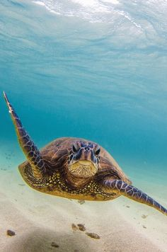 Turtle, Divergence by Shane Myers Hawaiian Sea Turtle, Turtle Beach, Tortoise Turtle, Turtle Love, Crocodiles, Alligators, Mundo Animal, Tortoises, Amphibians