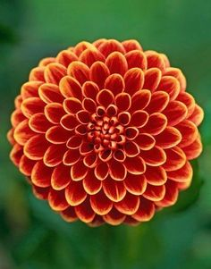 This flower is a Dahlia, Millie. Dahlia flowers come in all different different shapes and colors. I like all the little petals on this flower. Flowers Nature, Exotic Flowers, Orange Flowers, Amazing Flowers, My Flower, Pretty Flowers, White Flowers, Dahlia Flowers, Organic Herbs