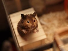 his name is Antonio Banderas, and he is a syrian hamster - Antonio by Anton Shaposhnikov, via 500px