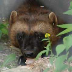 Wolverine (Gulo gulo)   Flickr - Photo Sharing!