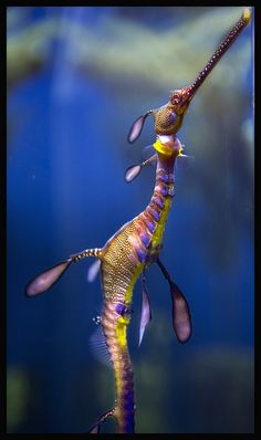 Sea Dragon, did the dragons go into a parallel dimesion or have they disguised themselves till the human epoch ended Underwater Creatures, Underwater Life, Ocean Creatures, Beautiful Sea Creatures, Animals Beautiful, Weedy Sea Dragon, Photo Animaliere, Marine Fish, Beautiful Ocean