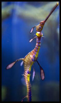 Sea Dragon, via Flickr.