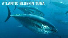 Pix For > Atlantic Bluefin Tuna Habitat