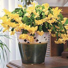 Christmas Yellow Cactus - Direct Gardening