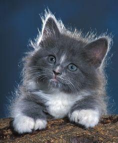 Fluffy Kittens | Joanne Stolte | all galleries >> Kittens > Fluffy Gray Kitten