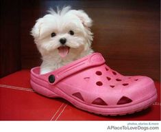 Teacup maltese in a shoe...except I refuse to admit that this precious dog is real and not a toy.