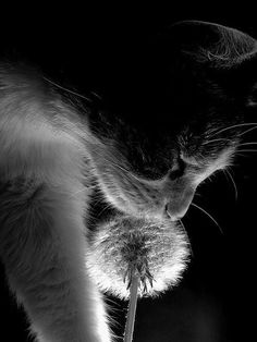 black and white photo of cat and dandelion