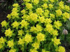 Kultatyräkki (Euphorbia polychroma) KORKEUS: 40-50 cm  KUKINTA-AIKA: touko-kesäkuu  KASVUPAIKKA: aurinkoinen, lievästi varjoisa  TALVENKESTÄVYYS: kestävä  KUKAN VÄRI: keltainen  KASVUALUSTA: ravinteikas, kuivahko ja kalkkipitoinen  ISTUTUSVÄLI: n. 35 cm  Kultatyräkki muodostaa pyöreitä, kaunismuotoisia mättäitä. Lehdet ovat keihäsmäisiä, nukkaisia ja hieman sinertäviä. Kukinto on sarjamainen ja kukat ovat haarattomien varsien latvoissa.  Sen maitiaisneste voi aiheuttaa ärsytystä iholla…