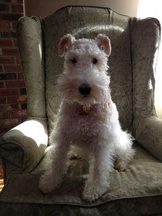 Winnie, wire fox terrier
