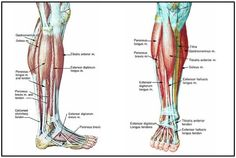 lower legs muscles Lower Leg Muscles, Major Muscles, Peroneus Longus, Muscle Groups, Training, Legs, Room, Bedroom, Work Outs