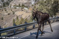 Moose running by my truck on the way up Logan Canyon, Utah