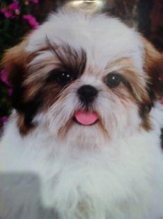 Cute shih Tzu puppy!