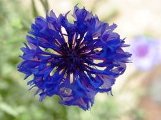 Germanys national flower: The Centaurea cyanus