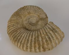 Ammonite fossil from North Africa Ammonite, North Africa, Fossils, Akira, Objects, Fossil