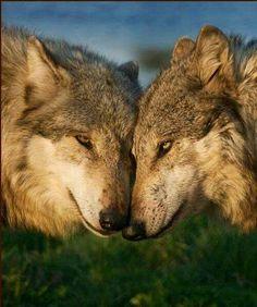 Beautiful wolves.